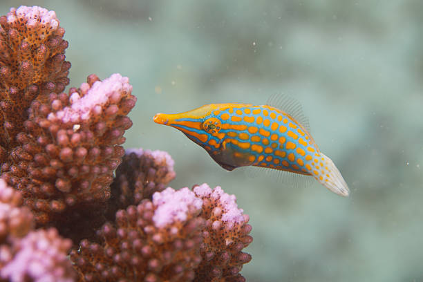 Butterfly fish – Foto