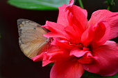 A butterfly drinking necter on a hibiscus flower