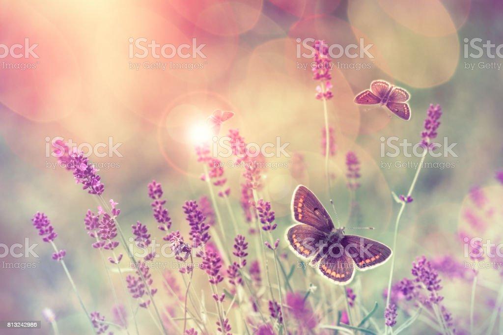 Butterfly flying over lavender flower stock photo