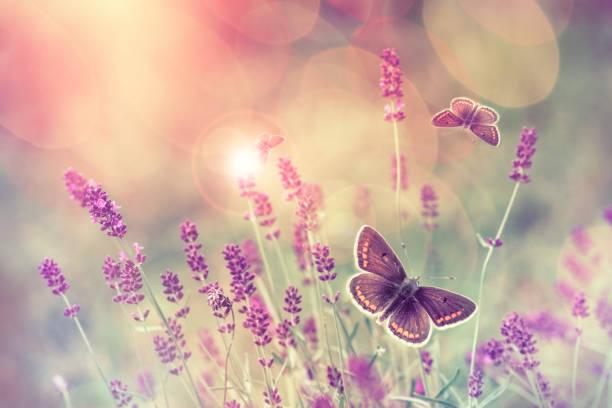 schmetterling fliegen über lavendel blume - schmetterling stock-fotos und bilder