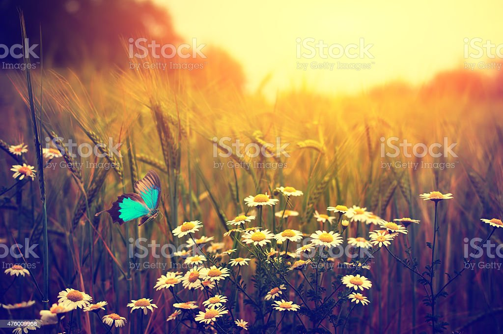 Butterfly flying spring meadow daisy flowers stock photo
