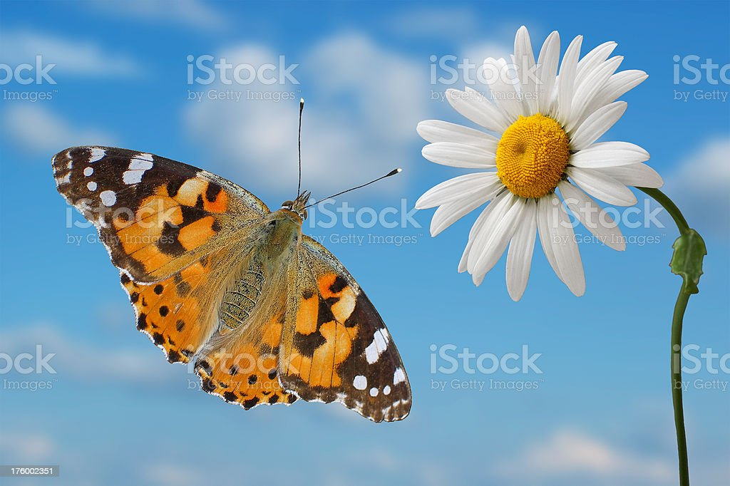 Butterfly flying to daisy. stock photo