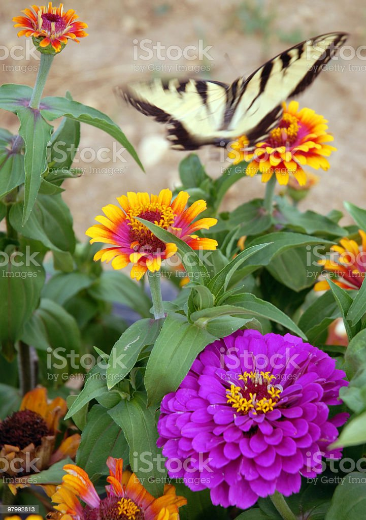 Butterfly garden ...Flying Flower royalty-free stock photo