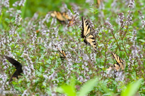 Selective-focus image of Swallowtail Butterflies in a field of flowers