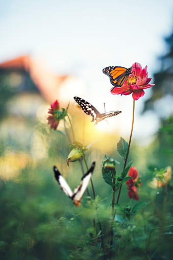 Colorful butterflies flying in the garden.