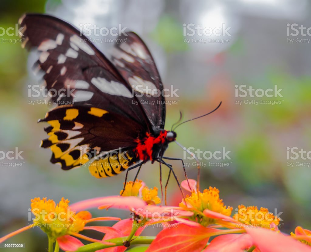 Butterfly Gathering Pollen - Royalty-free Animal Foto de stock