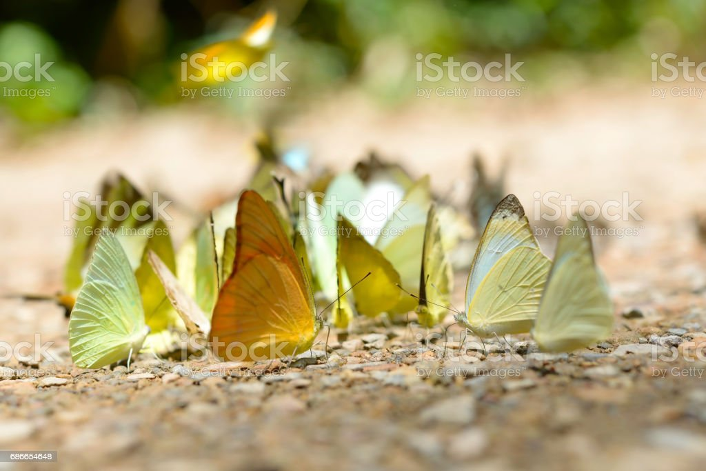 Butterfly gathering water on floor, kaeng krachan national park, thailand royalty-free stock photo