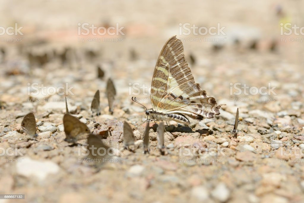 Butterfly gathering water on floor, kaeng krachan national park, thailand 免版稅 stock photo