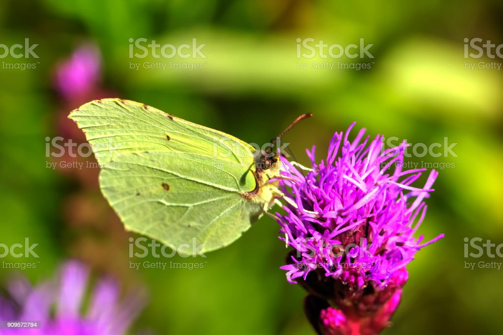 Butterfly Gonepteryx rhamni. Field flower. stock photo