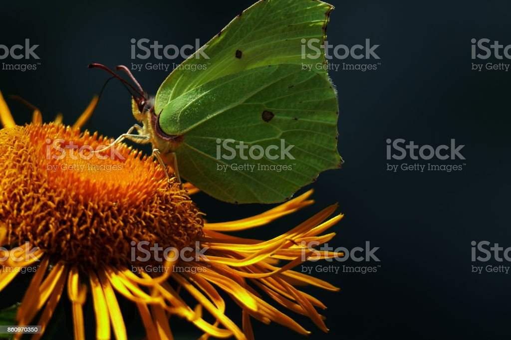 Butterfly Gonepteryx rhamni on the sunflower Gonepteryx rhamni stock photo