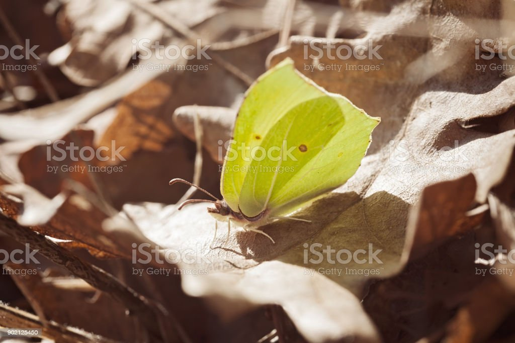 butterfly Gonepteryx rhamni stock photo