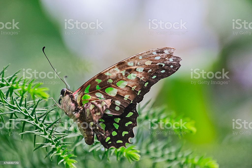 Butterfly Graphium Agamemnon stock photo
