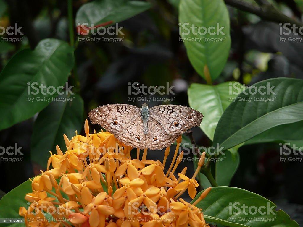 butterfly gray pansy (Junonia atlites) stock photo