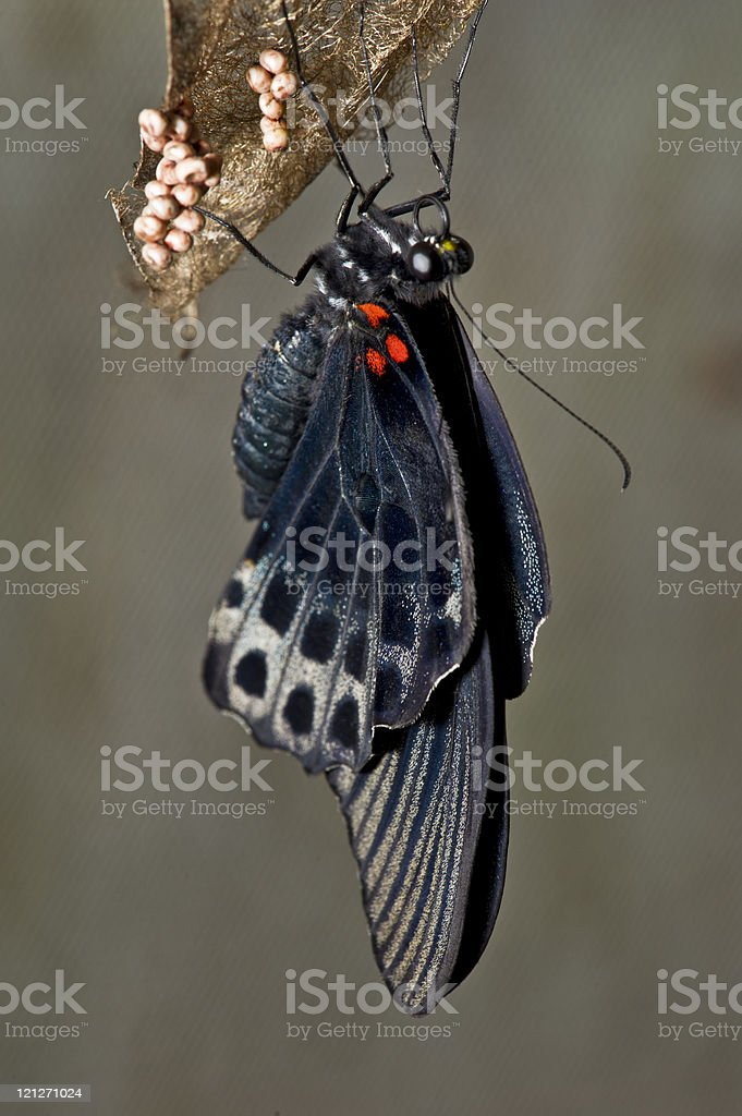 Butterfly Hanging with Eggs stock photo