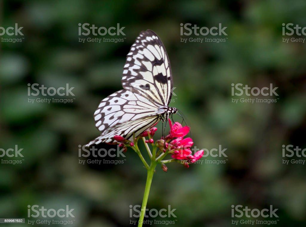 Butterfly Idea Leuconoe stock photo