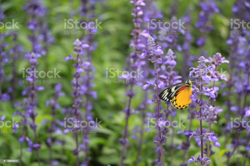 Butterfly in a purple flower photo libre de droits