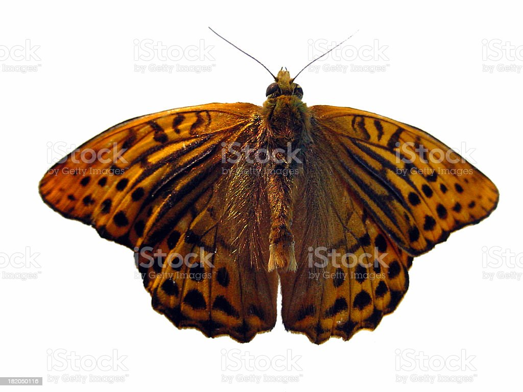 A Butterfly in Closeup royalty-free stock photo