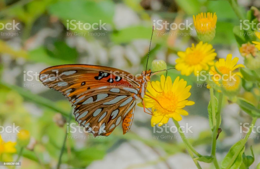 Butterfly In Garden Of Yellow Flowers Royalty Free Stock Photo