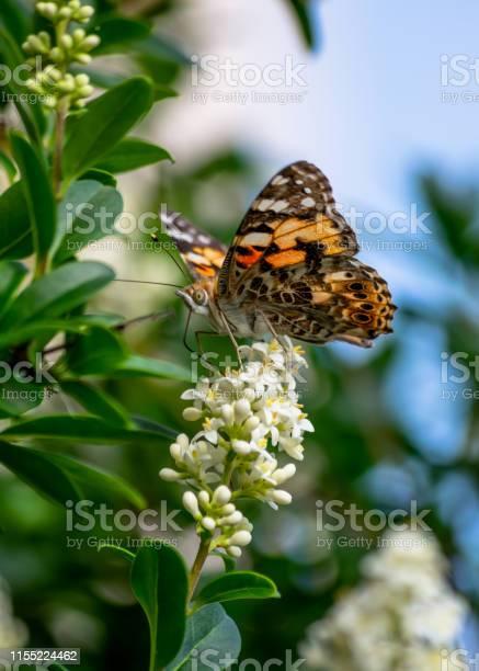 Butterfly in my garden doing his job properly picture id1155224462?b=1&k=6&m=1155224462&s=612x612&h=ignvefwp1hvdjrwdjwml4zbuhsldu233n7esfbhuhyk=
