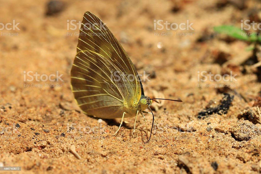 Butterfly in nature.Yellow Butterfly (Yellow Orange Tip, Ixias pyrene) stock photo