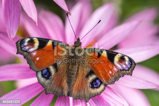 Butterfly in orange purple, yellow black and blue resting on ehinacea pink flower. Close up detailed macro photo. Concept for spring summer time, winter passing and the nice weather is coming up