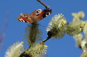 Peacock butterfly in spring on the catkins