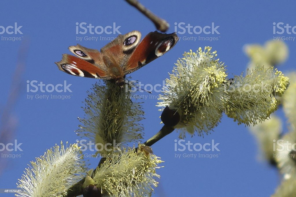 butterfly in spring on the catkins stock photo