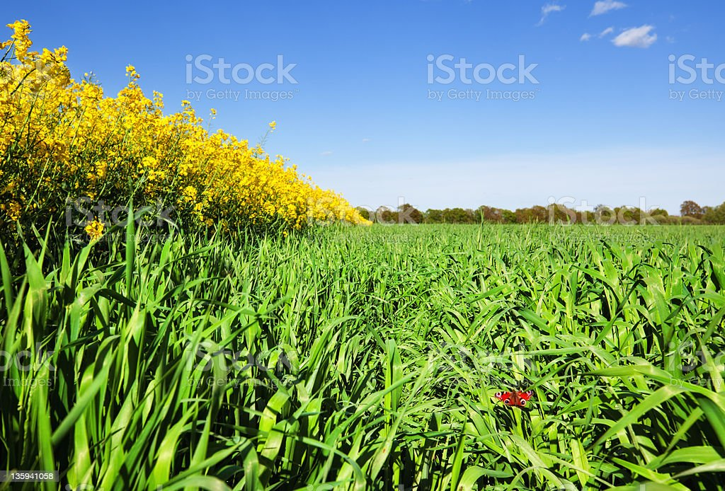 Butterfly in the Grain Field royalty-free stock photo