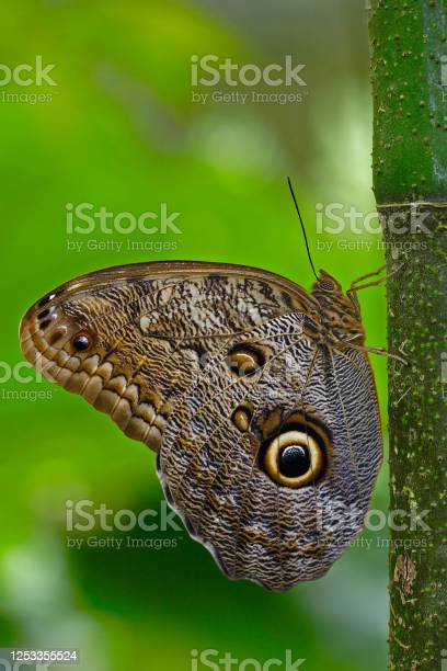 Photo of Butterfly in the green forest. Beautiful butterfly Blue Morpho, Morpho peleides, in habitat, with dark forest, green vegetation, Costa Rica. Sitting on the three.