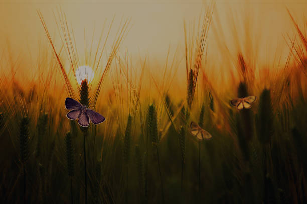 Butterfly in Wheat field at Sunrise stock photo