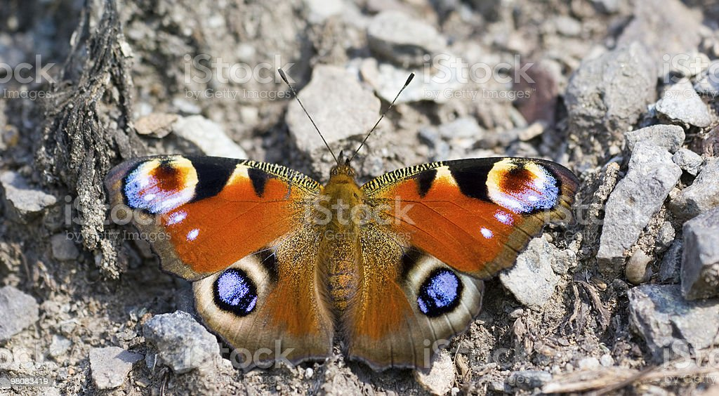 Butterfly Inachis io on to rock royalty-free stock photo