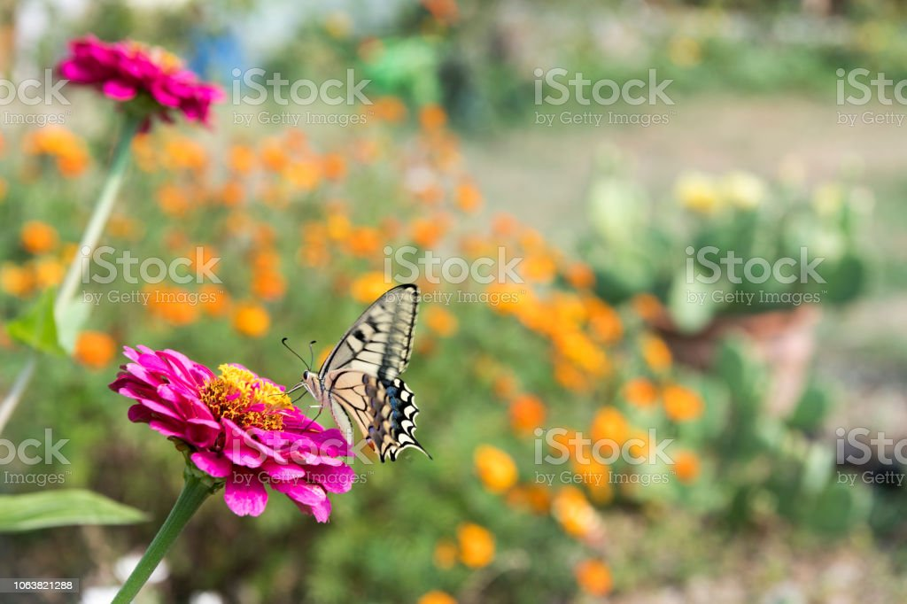 Butterfly - Insect, Ornamental Garden, Flowerbed, Animal, Lepidoptera