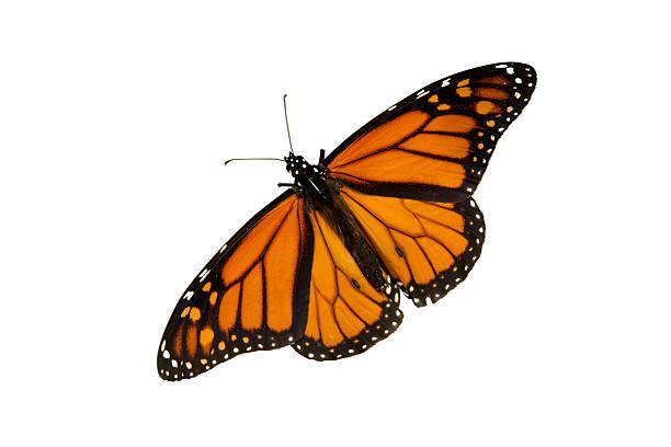 Butterfly isolated on white picture id172170654?b=1&k=6&m=172170654&s=612x612&w=0&h=wnxpg5e7y pleitqmammrohajpovpcxuls 1l21b3em=