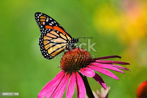 single cosmos flower with a vibrant multi colored monarch butterfly on its bud