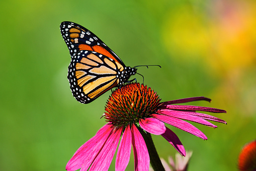 Butterfly kiss on a cosmos flower