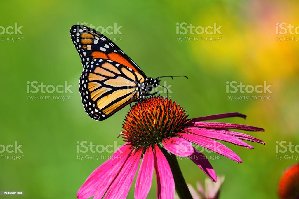 Butterfly kiss on a cosmos flower stock photo