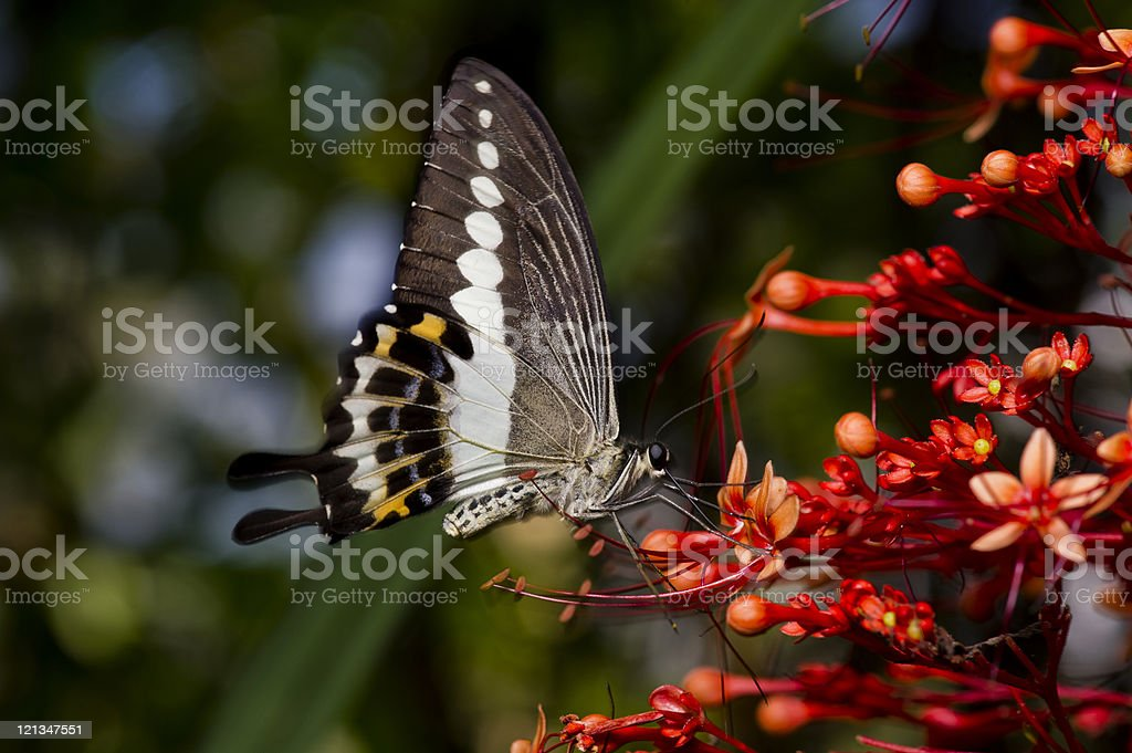 Butterfly Landing in Flight on Red Flowers stock photo