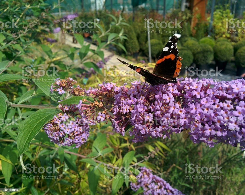 Butterfly Landing on Purple Flower zbiór zdjęć royalty-free