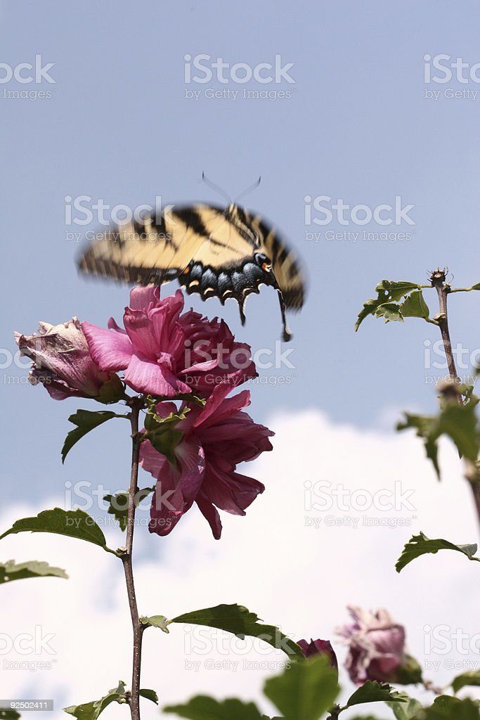 Butterfly Landing royalty-free stock photo