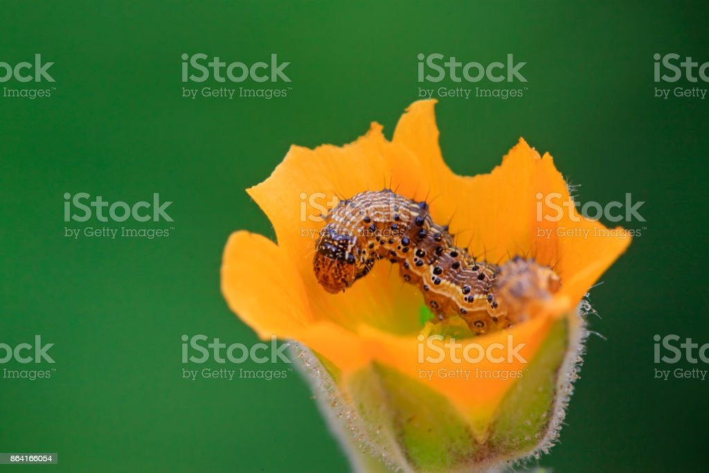 butterfly larvae in yellow flowers, closeup of photo royalty-free stock photo