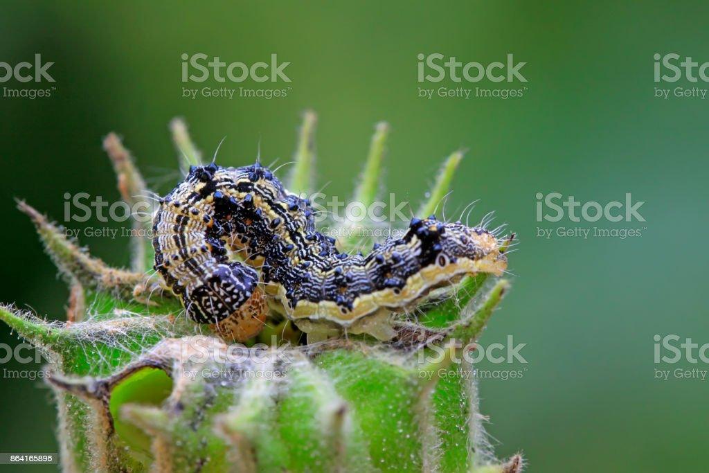 butterfly larvae on abutilon fruit, closeup of photo royalty-free stock photo