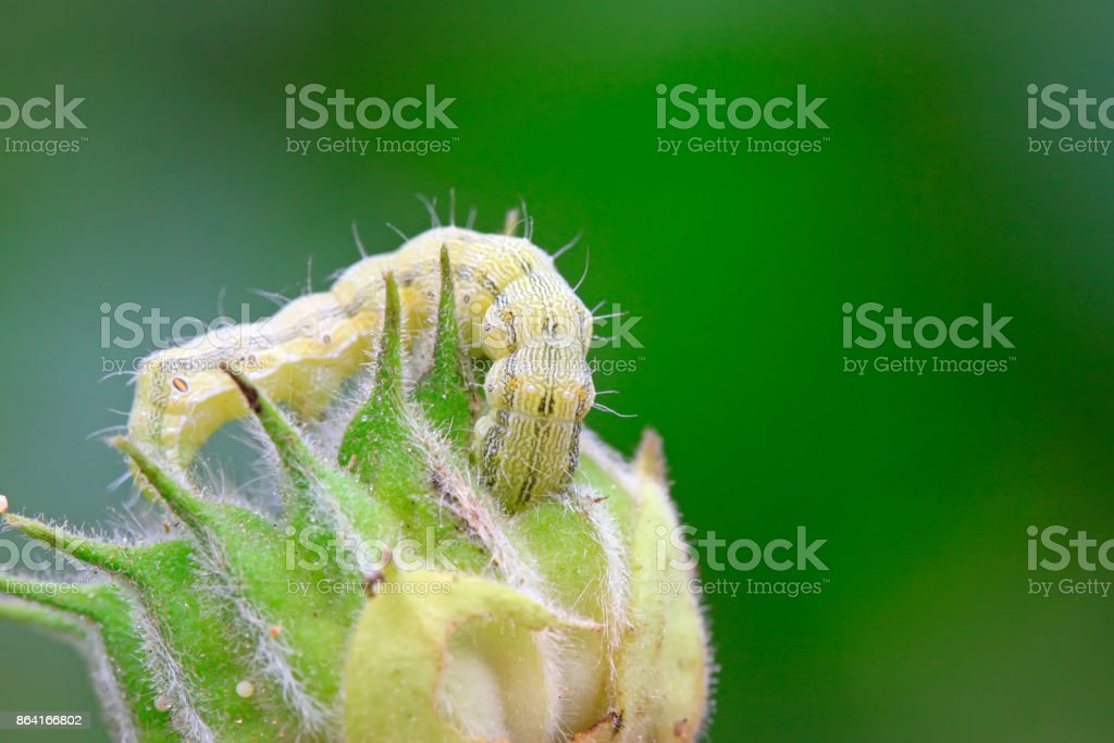 butterfly larvae on abutilon fruit, closeup of photo royalty-free stock photo