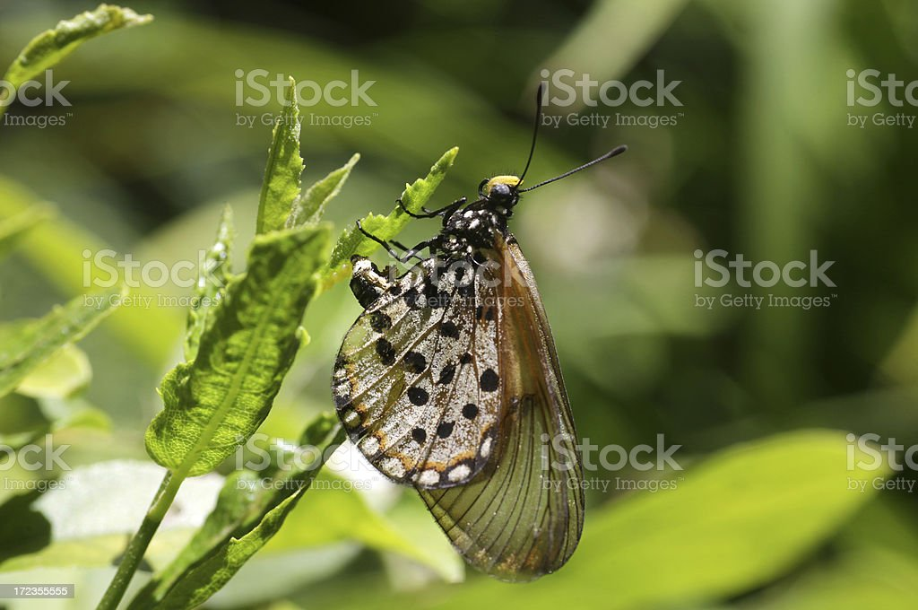 butterfly laying eggs on a leave royalty-free stock photo