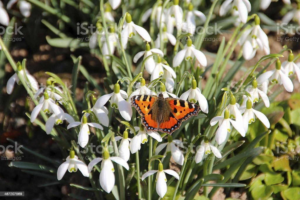 butterfly lily of the valley stock photo