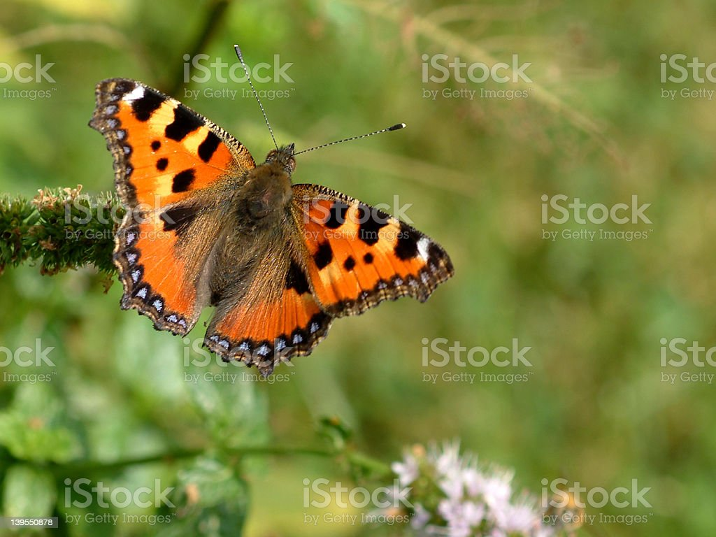 butterfly 'little fox' stock photo