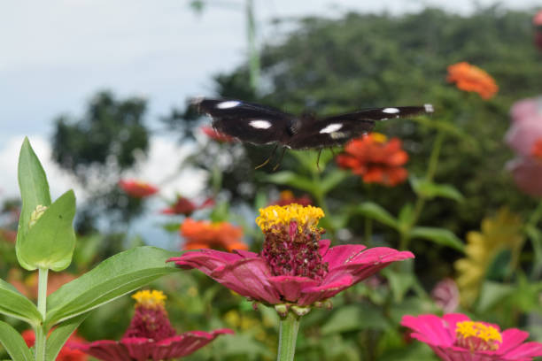 Butterfly looking for nectar on flower picture id1051218820?b=1&k=6&m=1051218820&s=612x612&w=0&h=ahn7m5 pghl3u wqubjihrlmwfkdecucp8wzanvjp2k=
