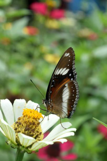Butterfly looking for nectar on flower picture id1051218956?b=1&k=6&m=1051218956&s=612x612&w=0&h=muek1gl3tcrdbcqjjevgbjkde0yrnljhqknei5ckvdy=
