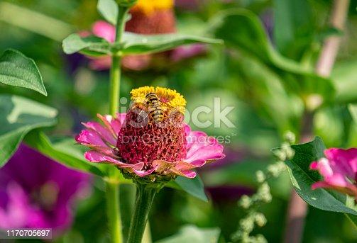 In een bed met zomerbloemen zoekt een Vlinder naar nectar