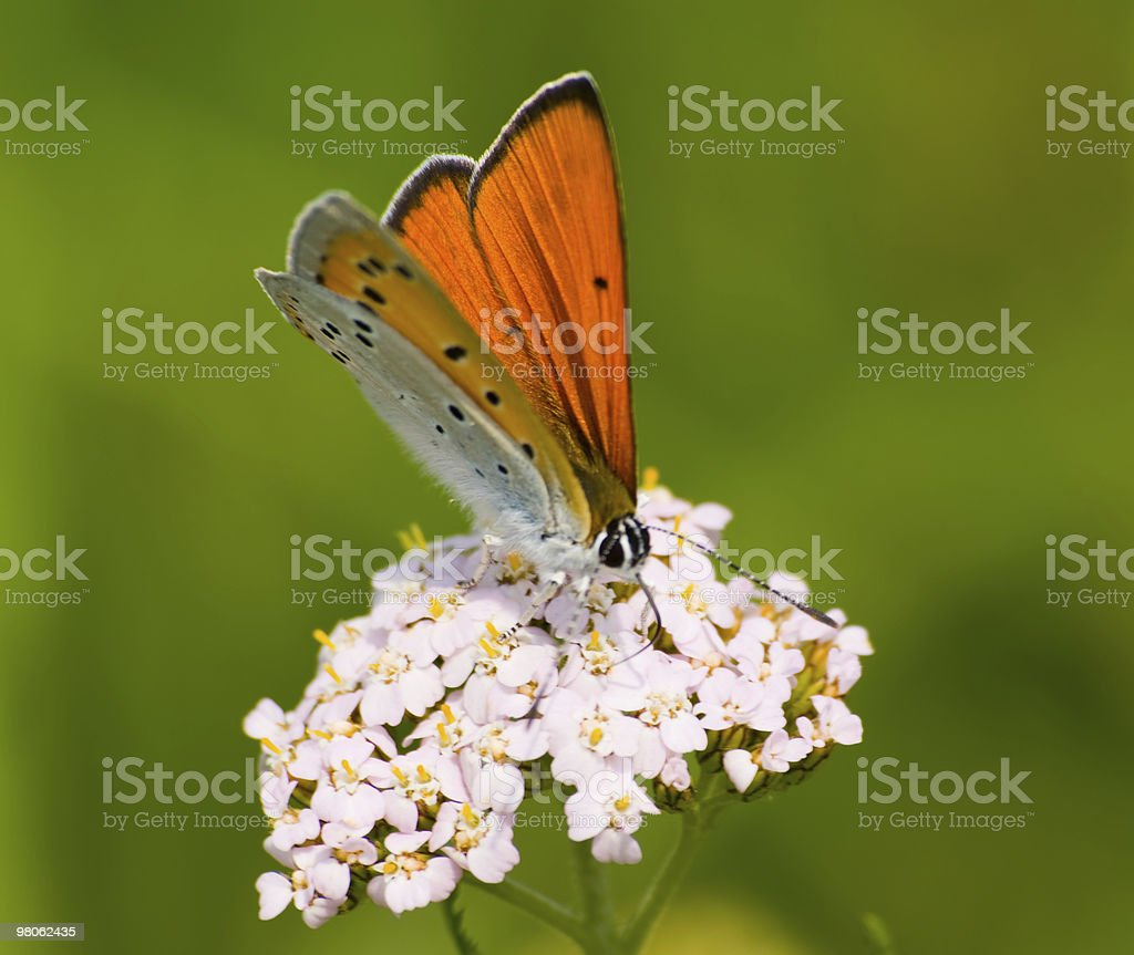 Butterfly Lycaena dispar rutila on a white flower royalty-free stock photo