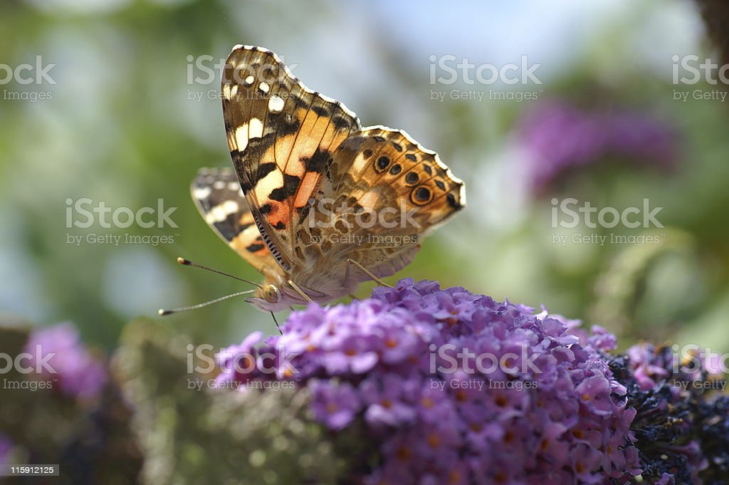Butterfly Macro stock photo
